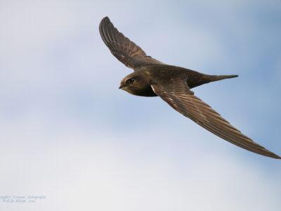 ''De gierzwaluw''. een vliegkunstenaar